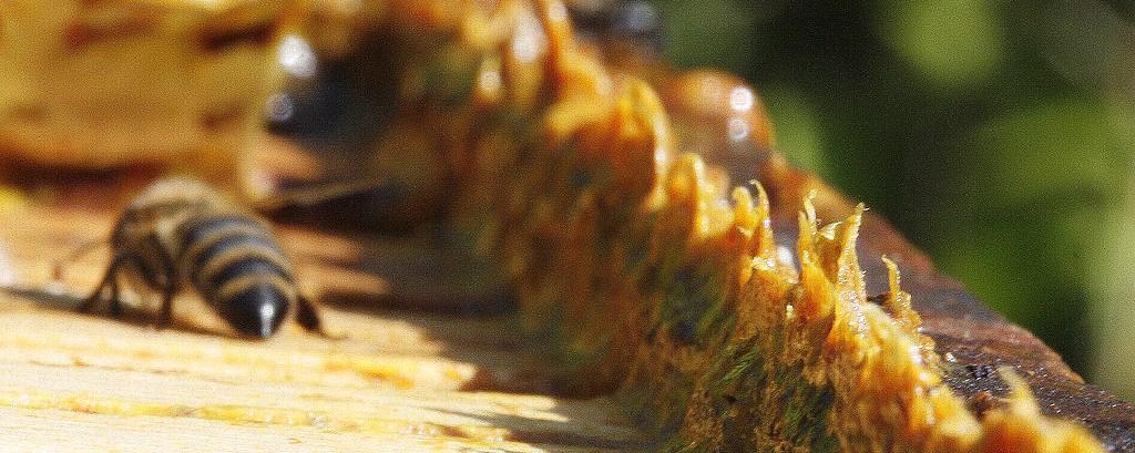 De la propolis brute telle qu'on la recueille dans la ruche