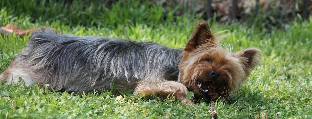 Petit chien : la santé avant tout | Medecine en ligne